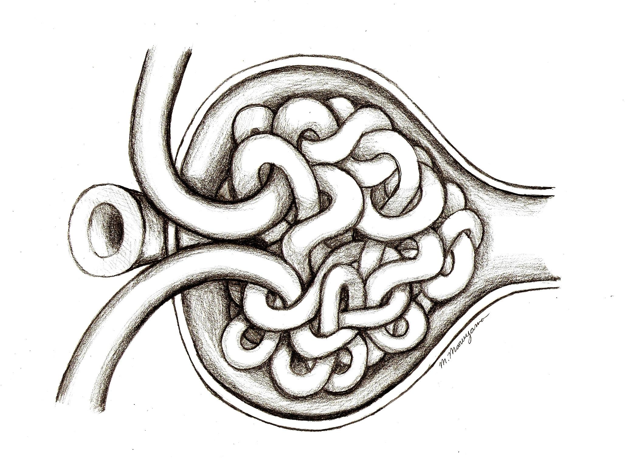 glomerulus corpuscle open michiko maruyama